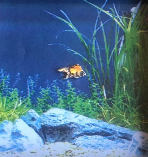 DITIQUEORDERPIERCE金魚